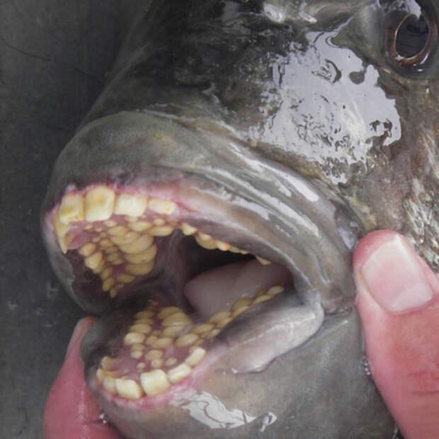 Рыба с человеческими зубами. животные, интересное, удивительное, фото
