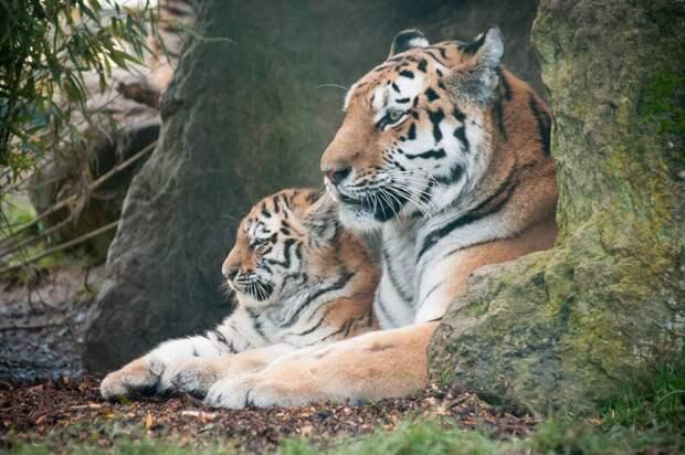 Амурский тигр, фото