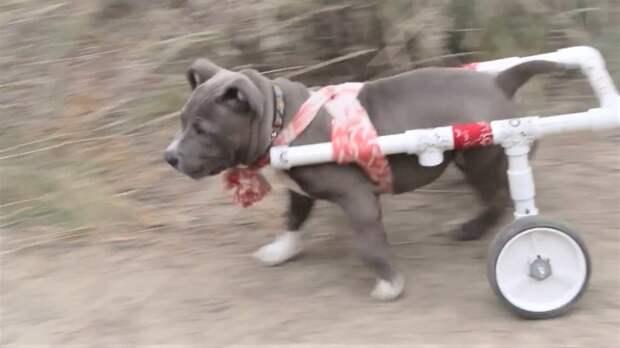 Собаки породы питбуль Милые охранники