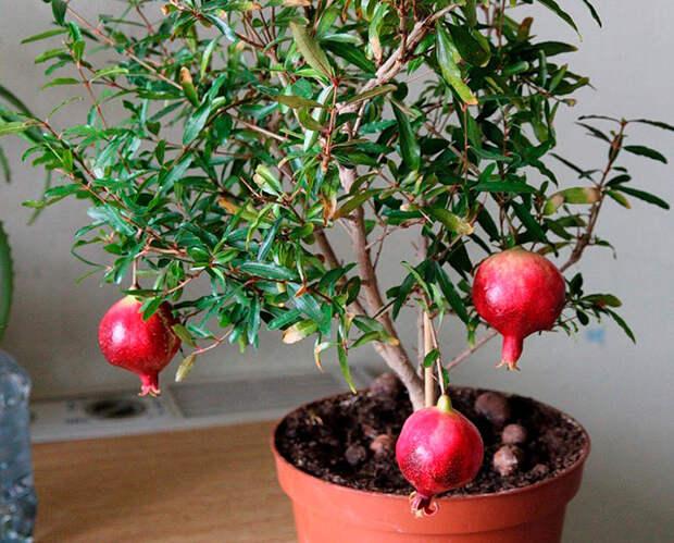 Гранат домашний: фото и выращивание из косточки. Гранатовое дерево ...
