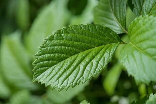 Удалять или сохранять земляничные листья