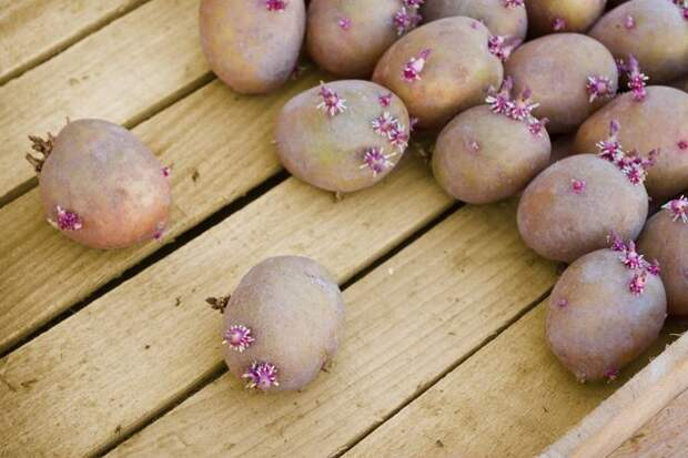 4 способа подготовки картофеля к посадке