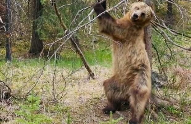 Видео: Задорные медвежьи танцы — зачем мишки тратят на это время