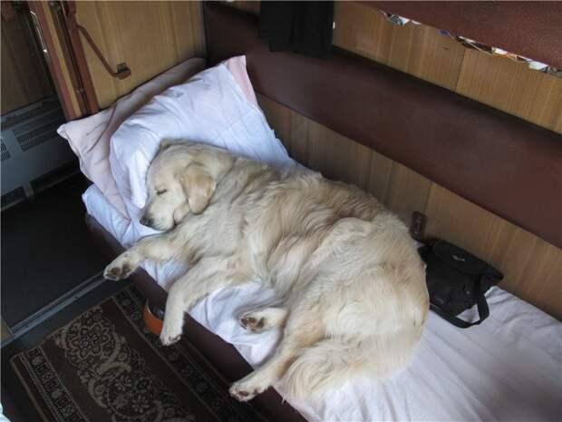6. Собаку-проводника провезти бесплатно и без документов поезд, ржд, услуги