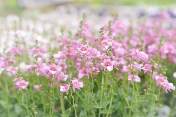 Blooming Twinspur Flowers, spring meadow