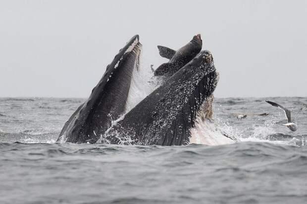 морской котик в пасти кита