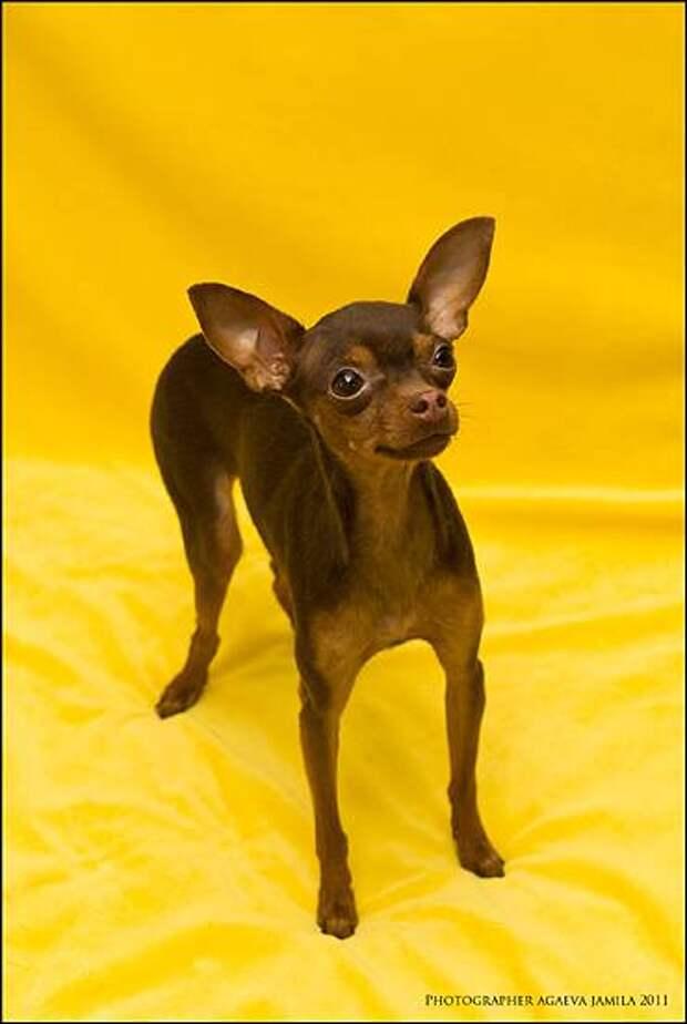 Русский той-терьер, собаки фото фотография