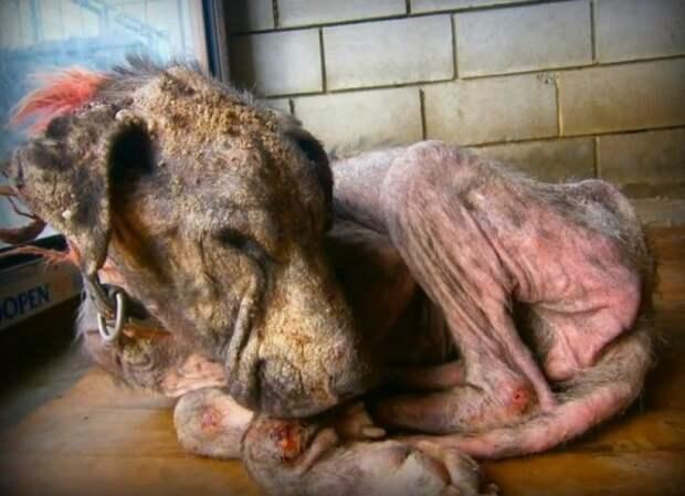 Эта страдающая собака хотела просто умереть... Она еще не знала, что остались добрые люди на Земле!
