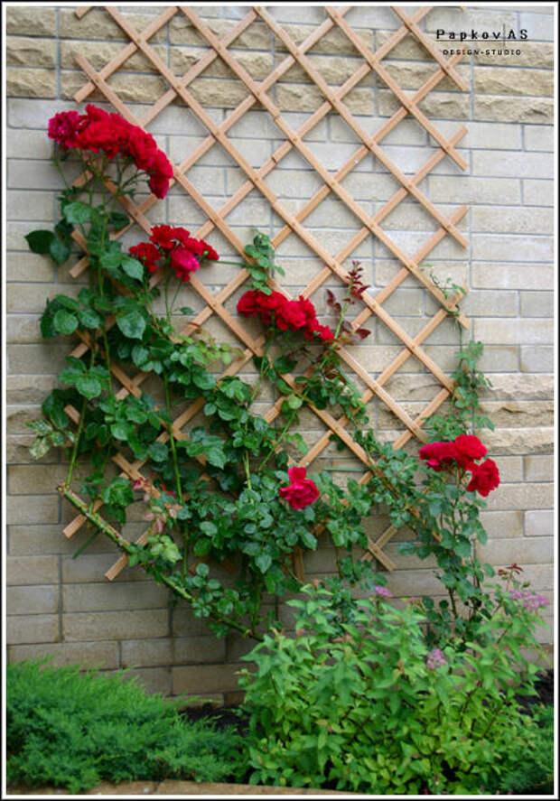 Плетистые розы на стене с использованием закрепленной решетки