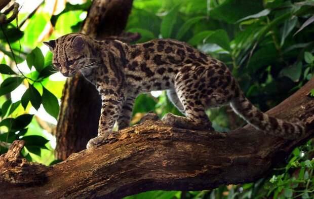 9. Длиннохвостая кошка (маргай) кошки, природа