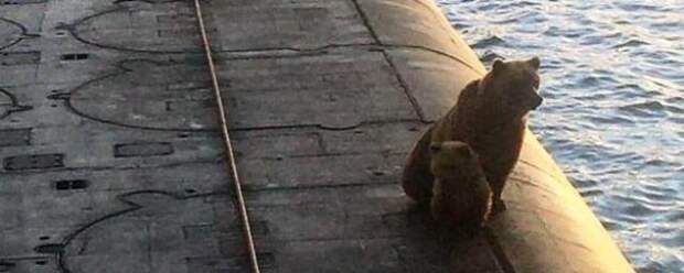 На Камчатке застрелили медведицу с детёнышем, забравшихся на подлодку