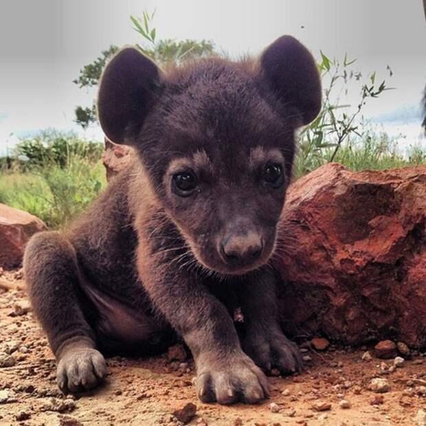 13. Малышка-гиена детеныш, животные