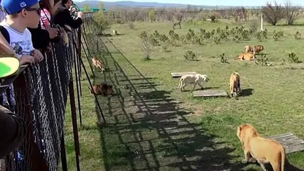 Стало известно, как тигр смог откусить ребенку палец в крымском сафари-парке
