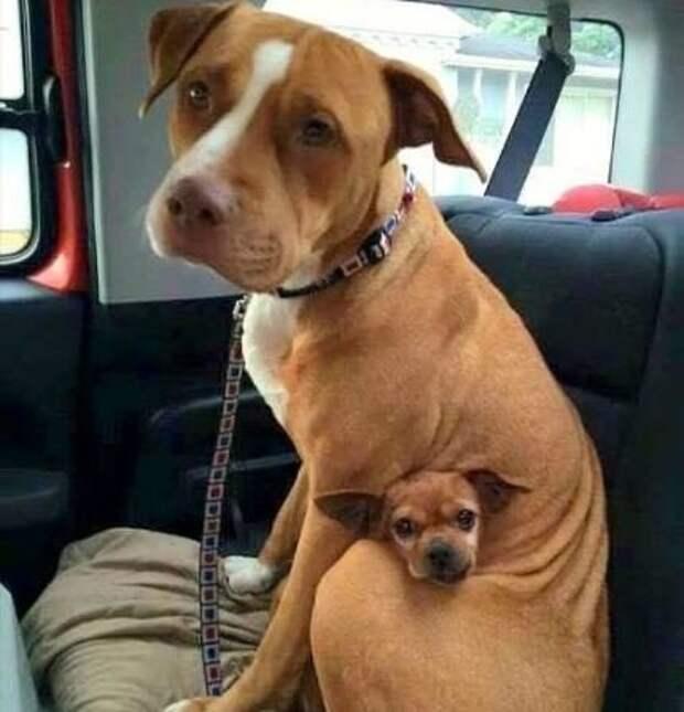 Питбуль отказывается быть усыновленным без лучшего друга