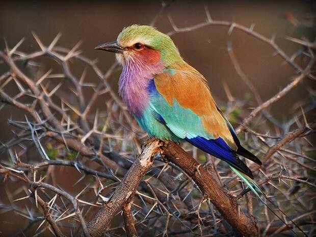 Интересная птица - сизоворонка