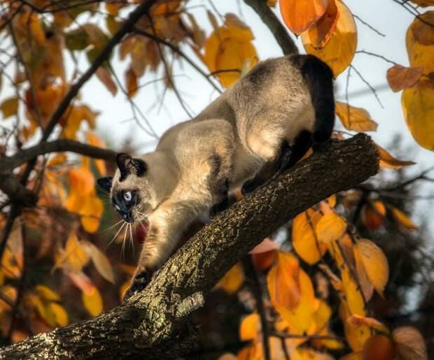 Сиамские кошки. Красивые фото. Кот на дереве