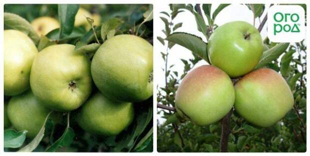 сорт яблок ренет симиренко
