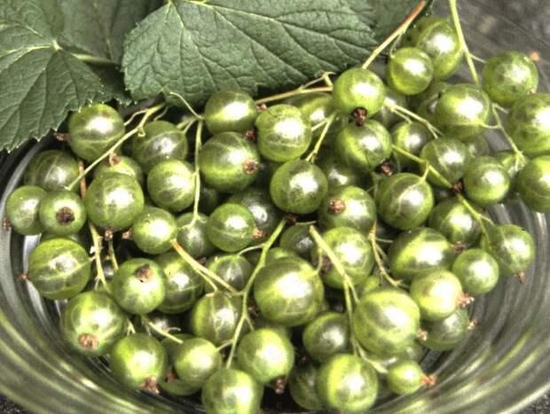 Смородина с зелеными ягодами - лучшие сорта