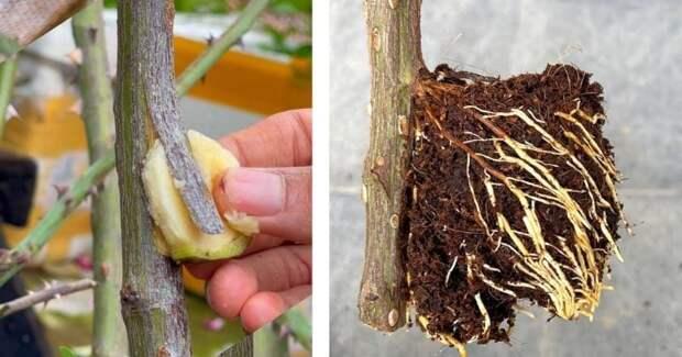 Новый способ укоренения розы без черенкования и лишних хлопот. Попробуйте хотя бы на одной розе
