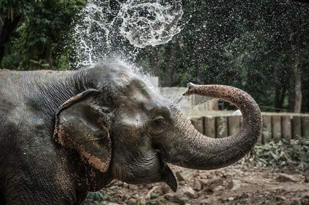 Слон Нингнонг животные, коты