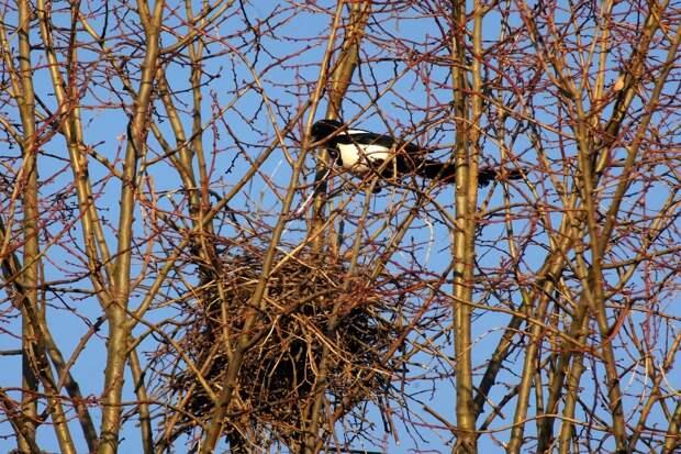 Как зимует сорока: 7 интересных фактов о чёрно-белой птице