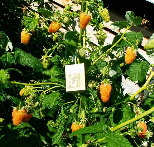Куст малины сорта Оранжевое чудо фото