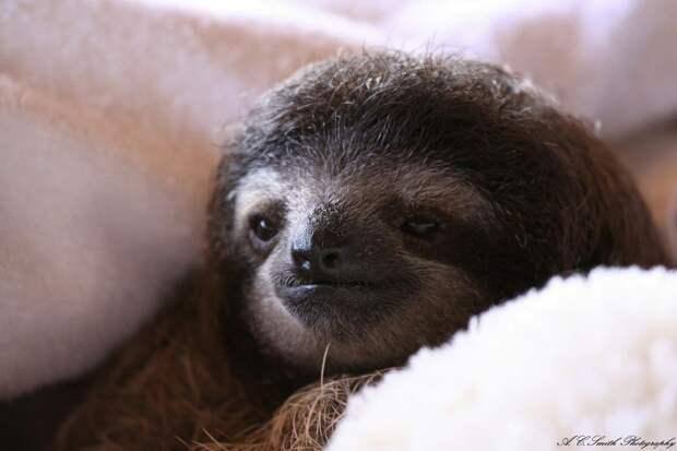 17 удивительных фактов о ленивцах 12