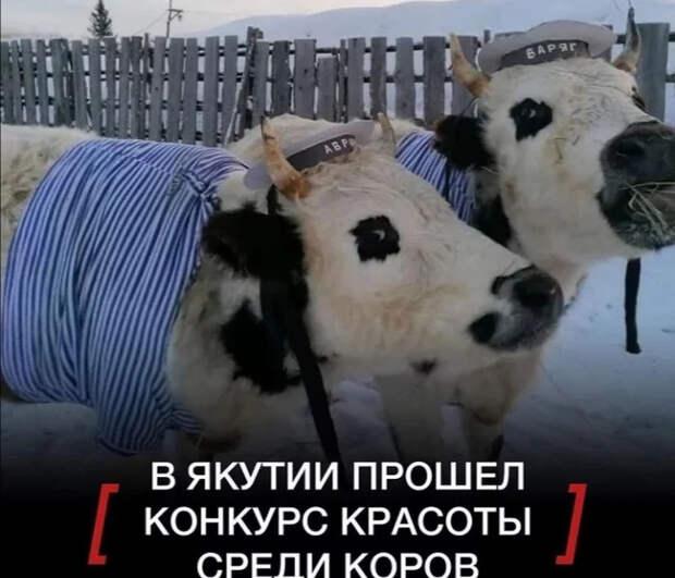 У кого война, у кого карантин, а у нас... Позитив, Якутия, Домашние животные, Длиннопост, Конкурс красоты, Корова