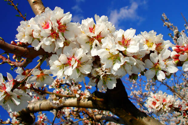 Цветущее миндальное дерево  весна, деревья, цветы