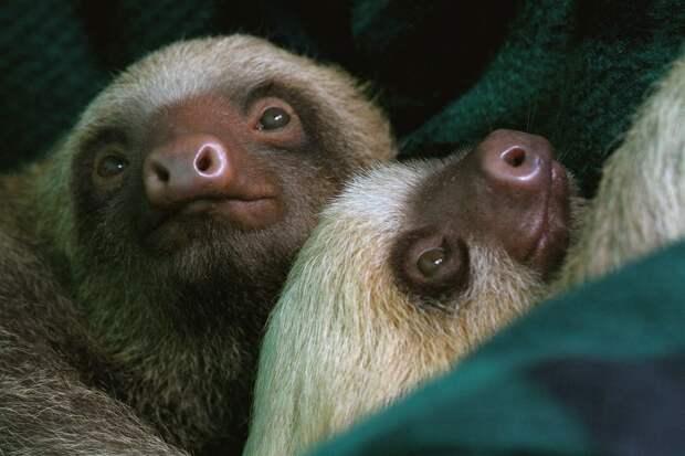 17 удивительных фактов о ленивцах 3