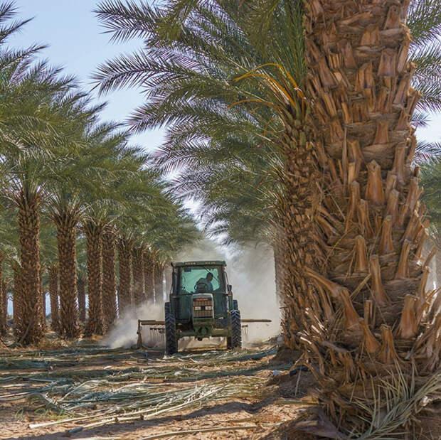 Как выращивают и собирают финики в Израиле