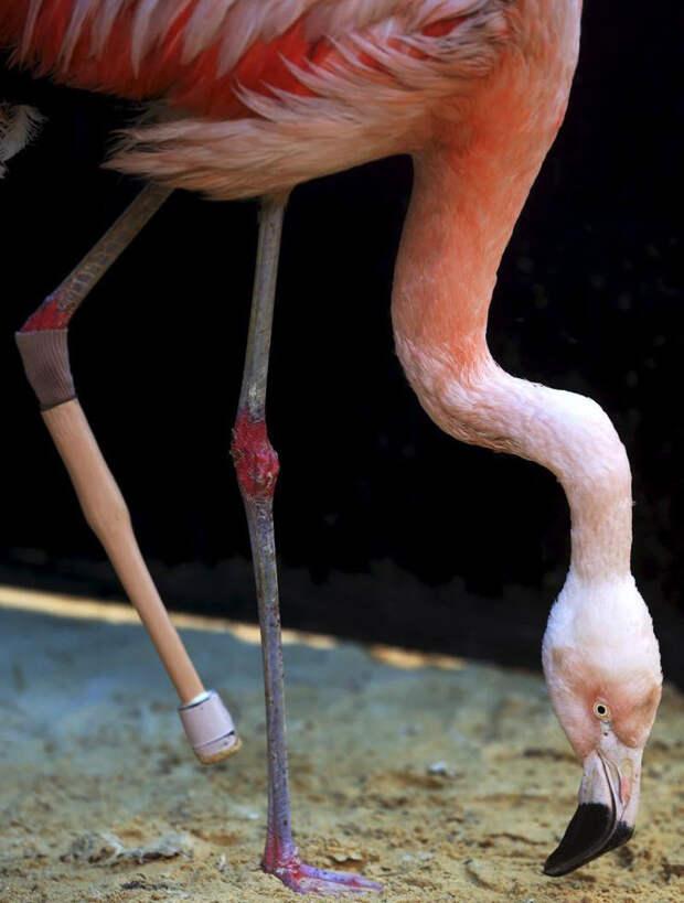 Фламинго с протезированной ногой учится ходить животные, нога, протез, травма, фламинго