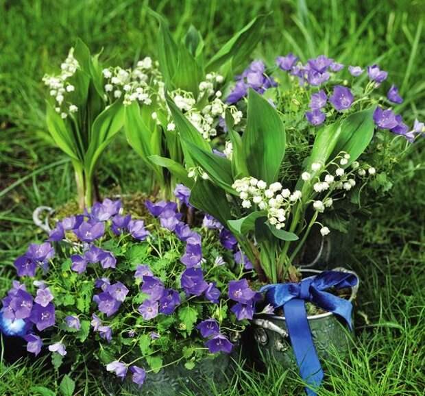 Яркие краски других садовых растений не затмевают, а только подчеркивают нежную красоту ландышей.