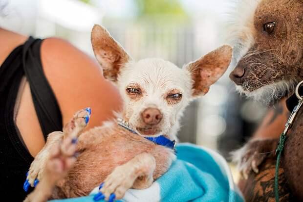 Самая уродливая в мире собака выиграла полторы тысячи долларов