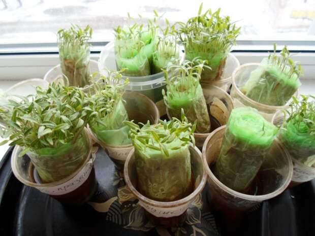 Безземельная технология выращивания рассады