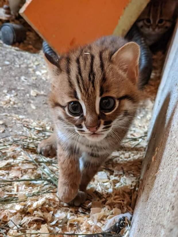 Впервые в новой истории в неволе родилась пара ржавых котят