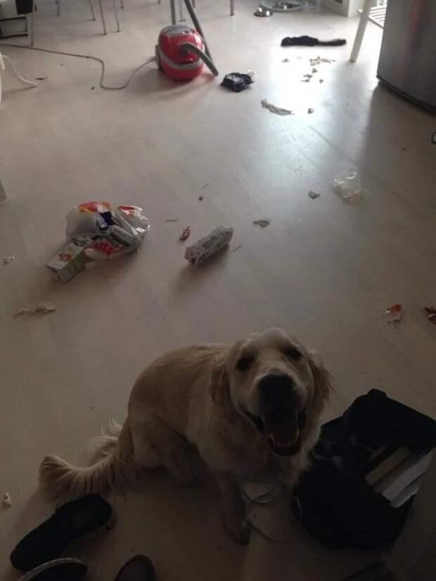 10 собак, которые понятия не имеют, откуда взялся весь этот беспорядок беспорядок, животные, собаки