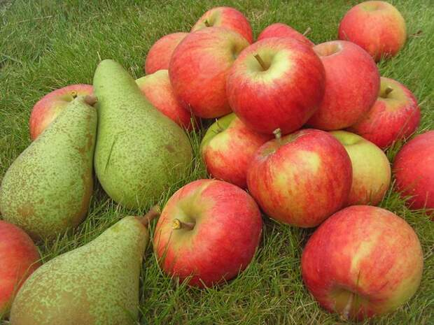 Для севера: яблоня и груша в стланцевой форме