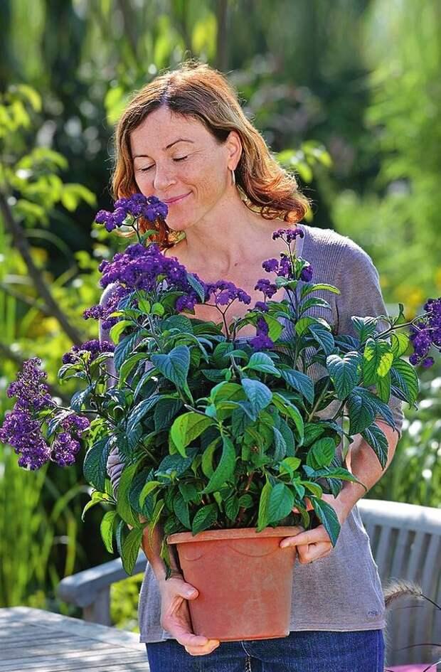 Гелиотроп (Heliotropium) продается в садовых центрах уже цветущим. Сомневаетесь, приобрести ли это растение? Понюхайте - и вы точно не уйдете без покупки!