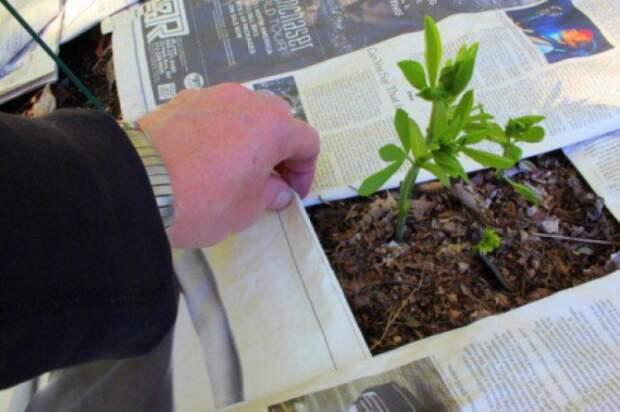 мульчевание газетами: Органическое земледелие, пермакультура