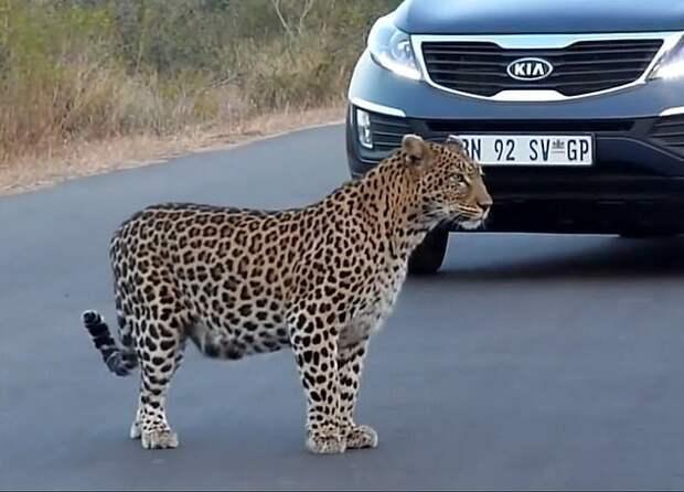 Уникальные кадры: мама-леопард переводит своих котят через дорогу