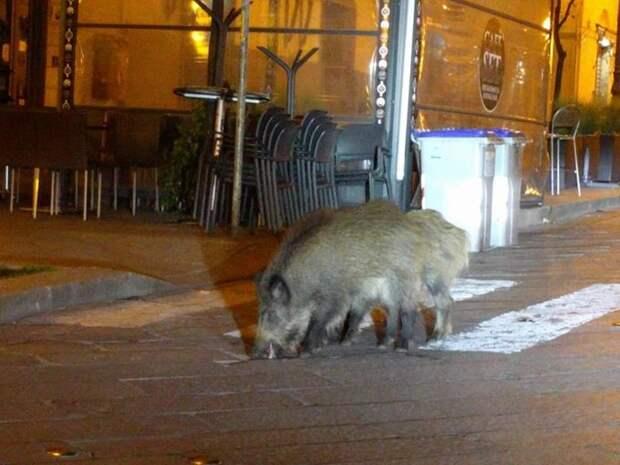Карантин улучшил экологию и привел в города диких животных