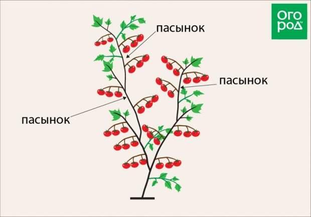 Формирование томата детерминантного сорта в 2 стебля