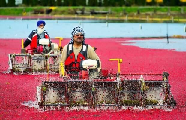Сбор клюквы в самом разгаре. \ Фото: bielousov.com.