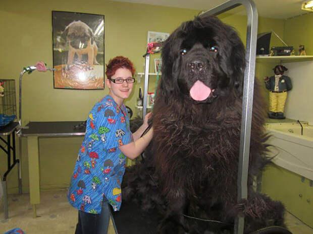 25. Это не медведь! И не мамонт! Это собака! размер, собака