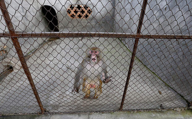 Дрессированные обезьяны