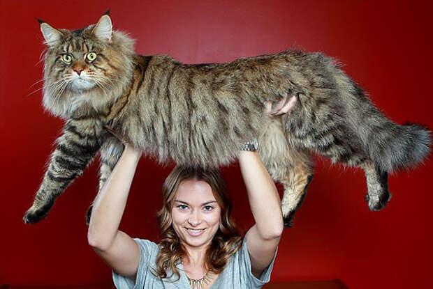 5. Хозяевам этого Мурзика не нужен тренажёрный зал животные, коты, милота, огромные коты