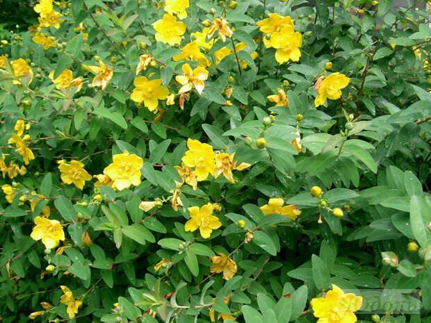 Зверобои – лекарственные и декоративные растения для вашего сада