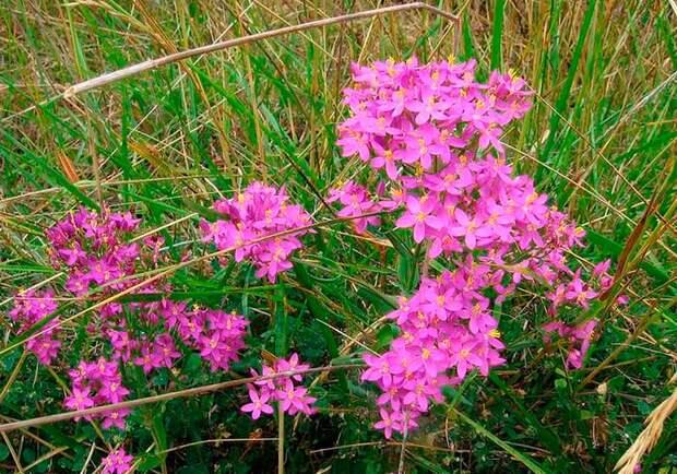 Лекарственное растение Золототысячник обыкновенный (Centaurium minus)