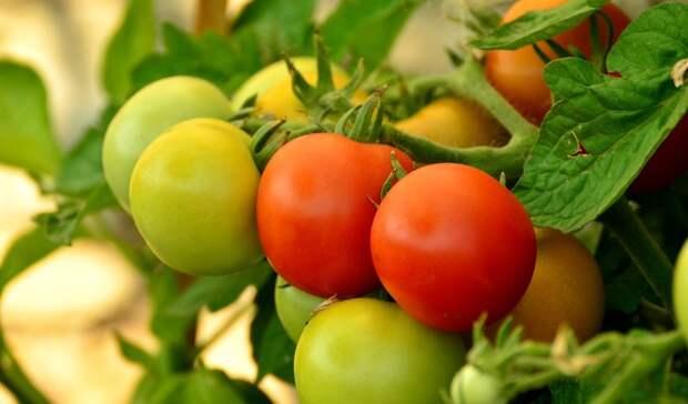 Почти 20 тонн зараженных томатов уничтожат вРостовской области